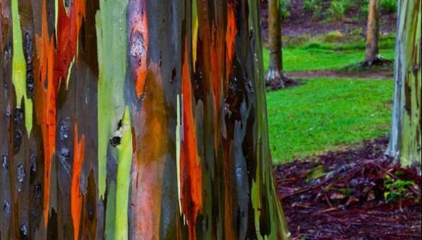 eucalipto-arco-iris-16