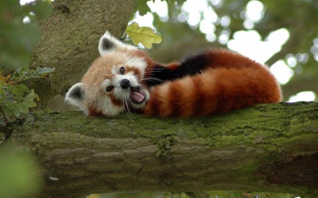 panda-rojo-4308