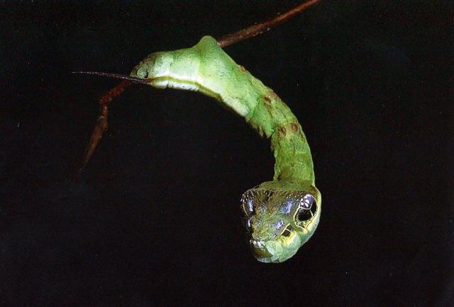 Hemeroplanes-Triptolemus-une-chenille-qui-ressemble-à-un-serpent-photo-06