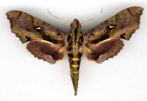 La espeluznante oruga con cabeza de serpiente | Ardea Iniciativas ...