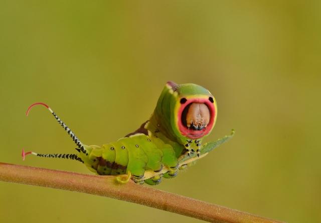 puss-moth-caterpillar