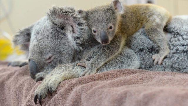 Koala-Lizzy-con-bebe-Joey-The-Phantom-zoo-Australia-Hospital-01