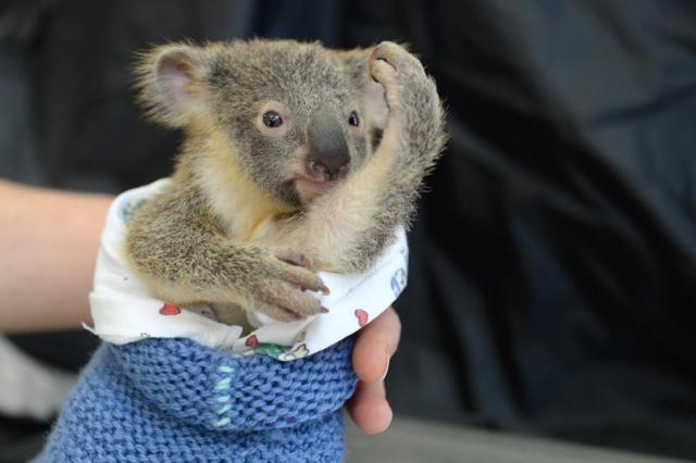 Koala-Lizzy-con-bebe-koala-Joey-Phantom-Australia-Zoo-Wildlife-Hospital-02