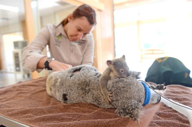 Koala-Lizzy-con-bebe-koala-Joey-Phantom-Australia-Zoo-Wildlife-Hospital-03