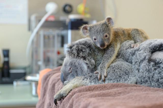 Koala-Lizzy-con-bebe-koala-Joey-Phantom-Australia-Zoo-Wildlife-Hospital-04