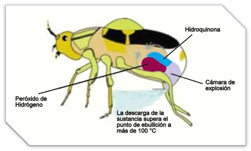 Ardeambiental, Escarabajo-Bombardero, 2