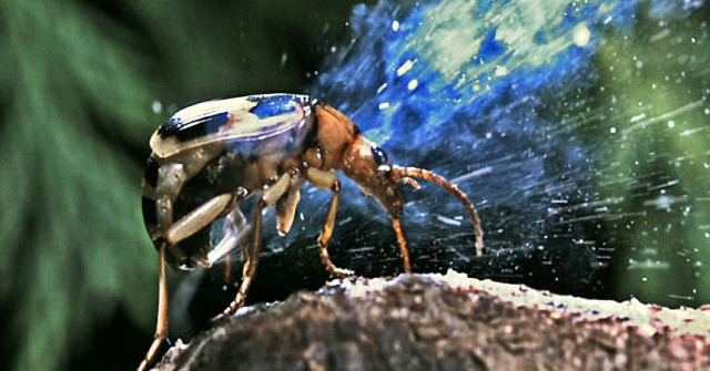 Ardeambiental, escarabajo-bombardero